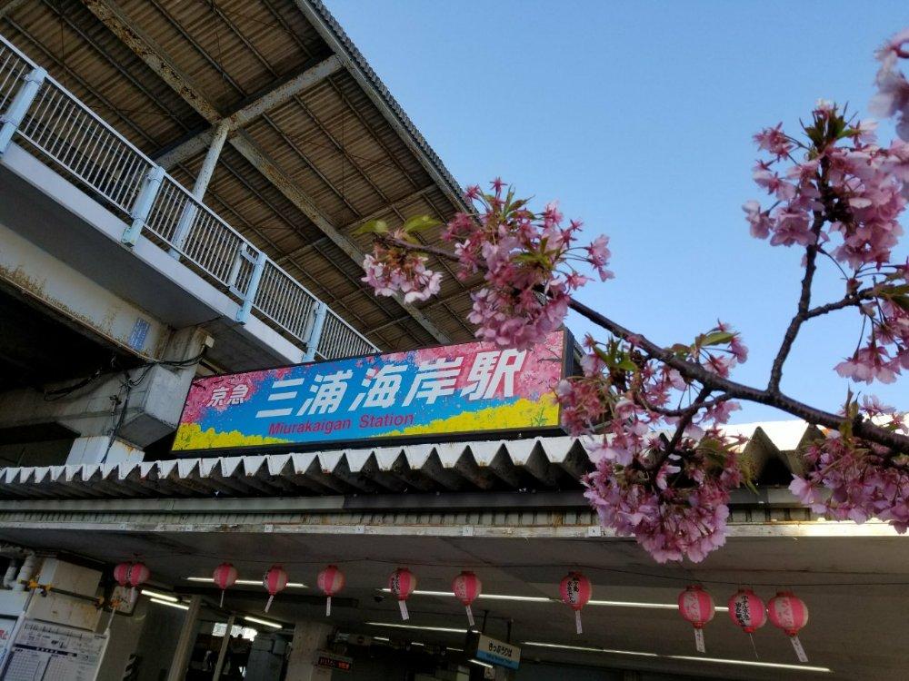河津桜(カワヅザクラ)が咲く「2018年度 第16回 三浦海岸桜まつり」