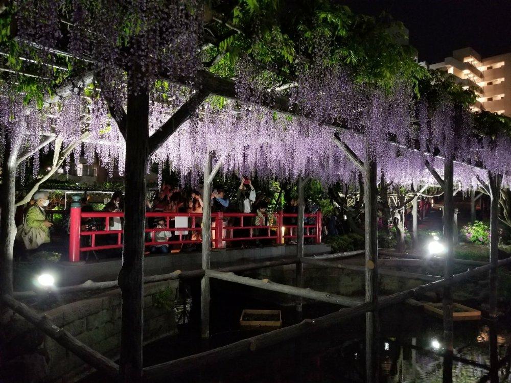 東京錦糸町、亀戸天神社の『藤まつり2018』に行ってきました!